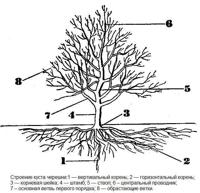 Схема строения взрослого деревца черешни с указанием основных частей