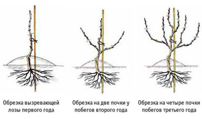 Схема обрезки виноградного куста в течении первых трех лет вегетации
