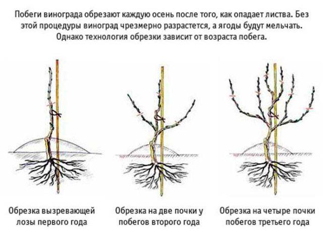 Схема формирования виноградной лозы в течение первых трех лет жизни растения