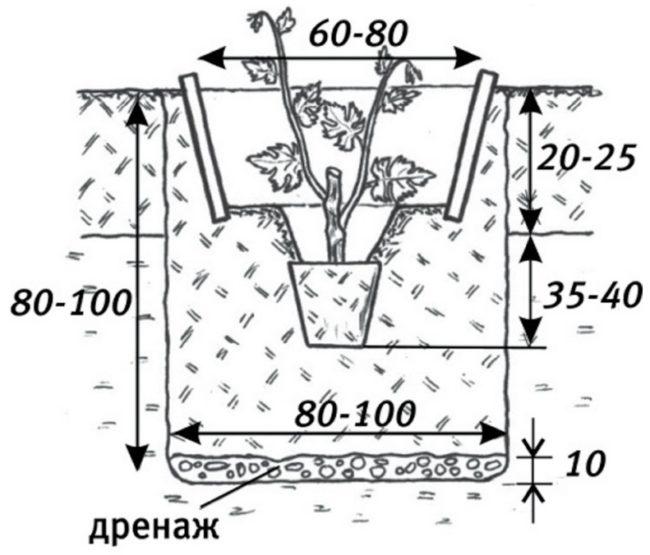 Размеры посадочной ямы для саженца винограда и глубина размещения растения