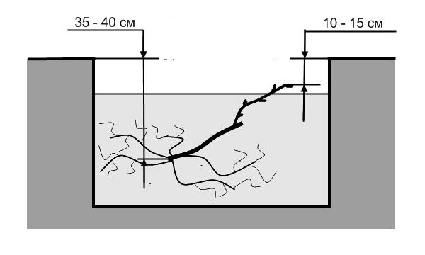 Схема размещения виноградного саженца в стандартной посадочной яме