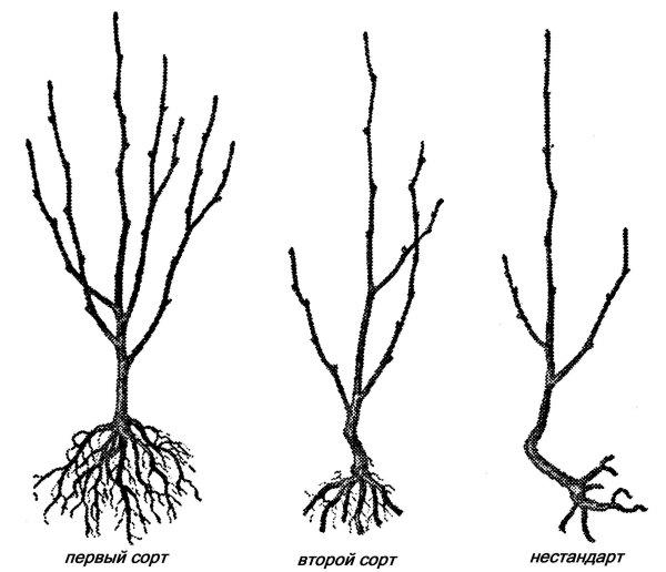 Схема корневой системы саженцев черешни в зависимости от сорта