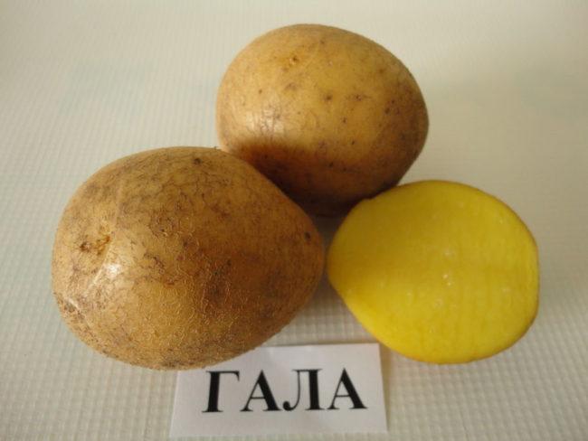 Две целые и одна половинка картошки сорта Гала, выведенного немецкими селекционерами