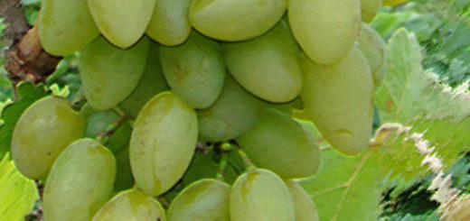 Спелые плоды сорта винограда Тимур зелёный