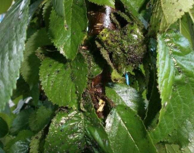 Колония черной тли на зеленых листьях черешни сорта Ипуть