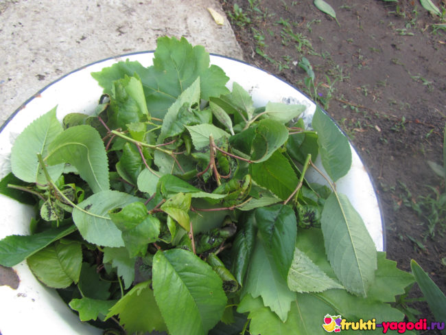 Тля на сорванных листьях черешни сорта Дайбера