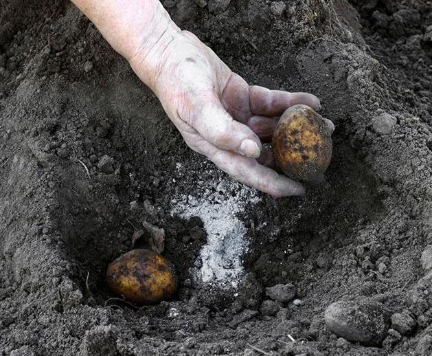 Внесение доломитовой муки при посадке картошки сорта Гала для раскисления почвы