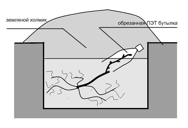 Схема укрытия виноградного саженца после осенней посадки в открытый грунт
