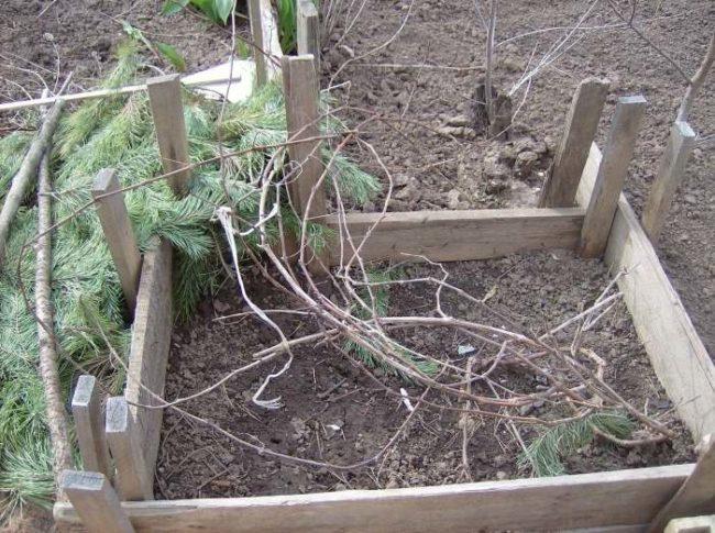 Каркас из дощечек вокруг молодого куста винограда для зимнего укрытия