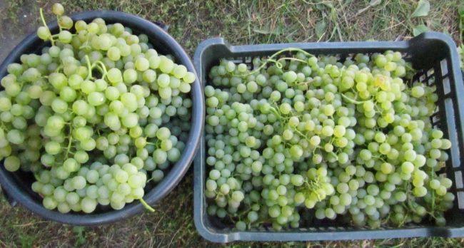 Две емкости с гроздьями зеленоватых ягод винограда сорта Бианка