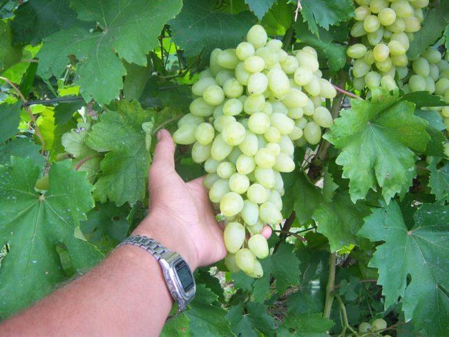 Гроздь винограда гибридного сорта Зарница с вытянутыми плодами желто-белого оттенка