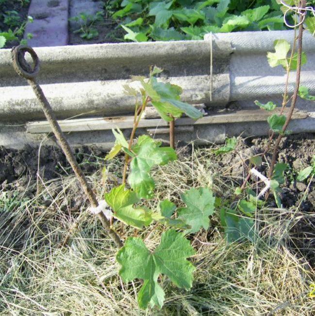 Молодой куст винограда с нежными зелеными побегами и сено в качестве мульчирующего материала