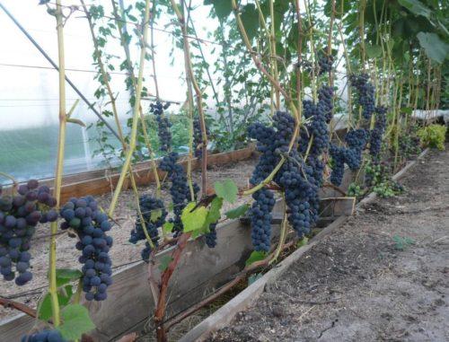 Грозди созревающих ягод на кусту винограда сорта Альфа