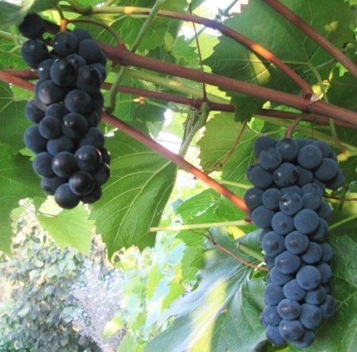 Две грозди средних размеров гибридного винограда сорта Альфа