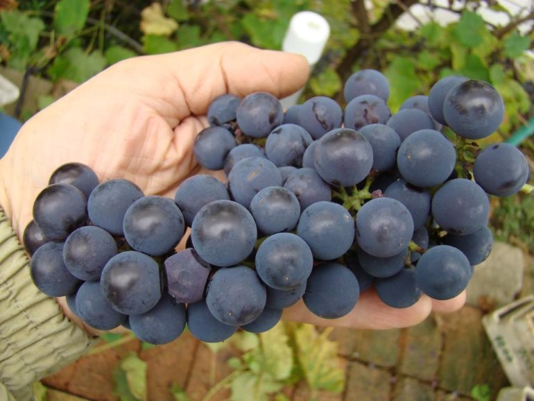 виноград альфа описание сорта фото только трубках