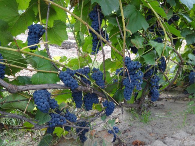 Ветви винограда сорта Альфа универсального предназначения с гроздьями созревающих плодов