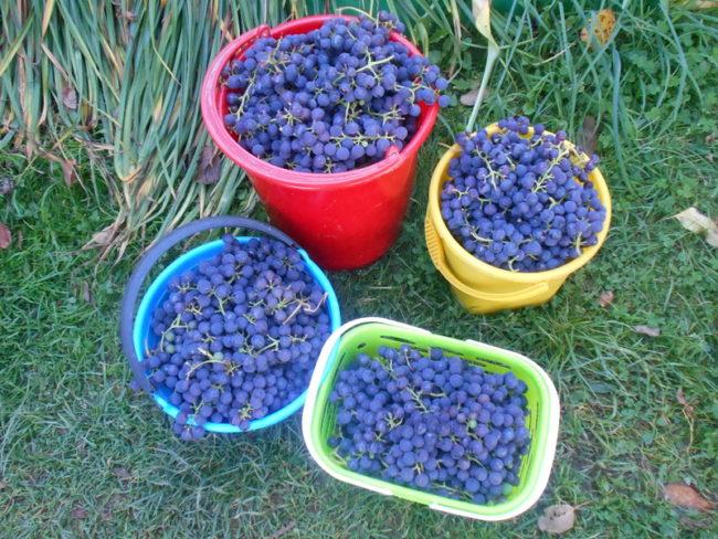 Четыре разноцветные пластиковые емкости с урожаем винограда сорта Альфа