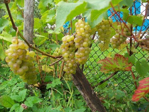 Грозди спелого винограда сорта Бианка с ягодами янтарно-желтоватого окраса