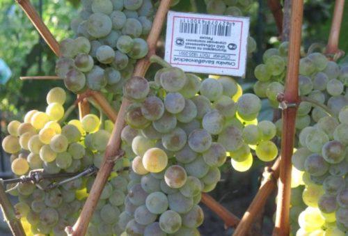 Гроздь гибридного винограда сорта Бианка и спичечный коробок