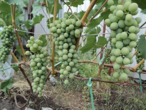 Кисти гибридного винограда сорта Бианка на ветках в начальной стадии окрашивания плодов