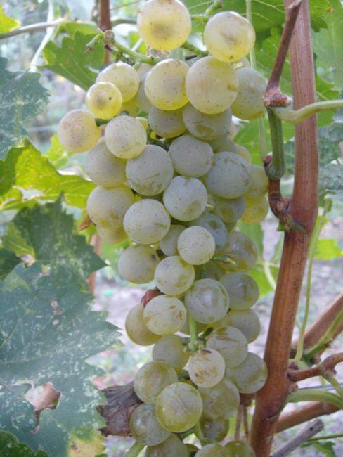 Гроздь винограда гибридной формы Бианка с желто-зелеными плодами