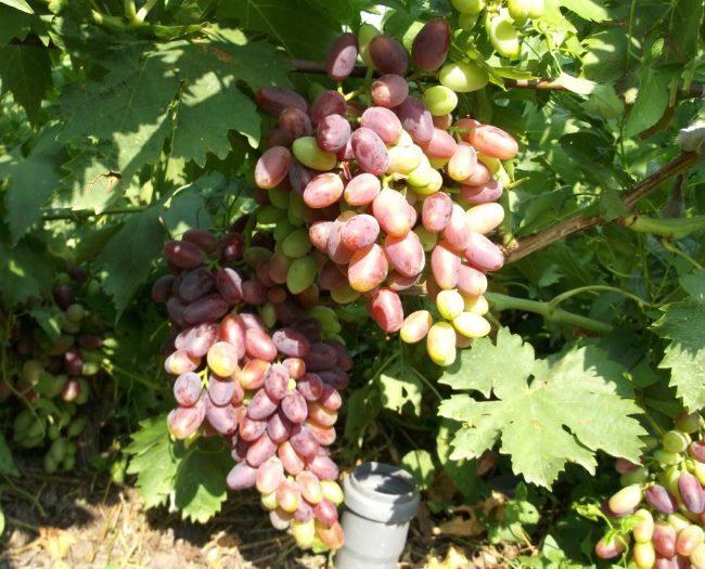 Крупные грозди столового винограда Джованни в начале стадии окрашивания ягод