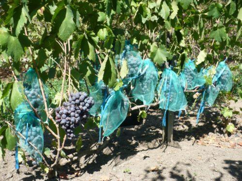 Куст винограда гибридной формы Фараон под нагрузкой и сетчатые мешочки на гроздьях