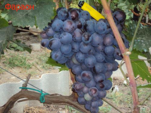 Кисть спелого винограда гибридного сорта Фараон селекции Павловского