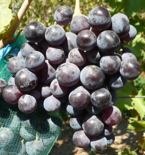 Гроздь винограда столового сорта Фараон с крупными плодами темно-фиолетового окраса