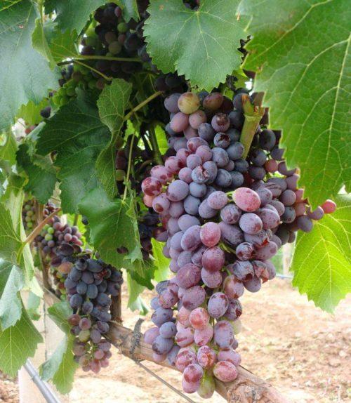 Кисти винограда столового сорта Юпитер с ягодами различной степени спелости