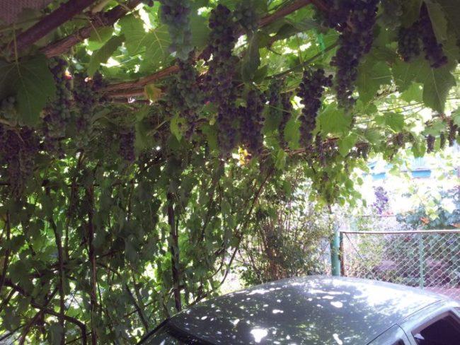 Виноградная лоза на арочной шпалере, перекрывающей дворовое пространство