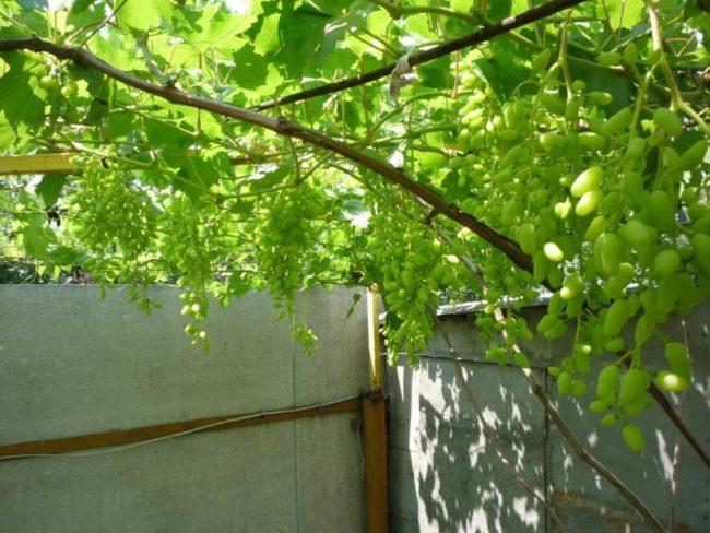 Ветки и грозди столового винограда на арочной шпалере, перекрывающей дворовое пространство