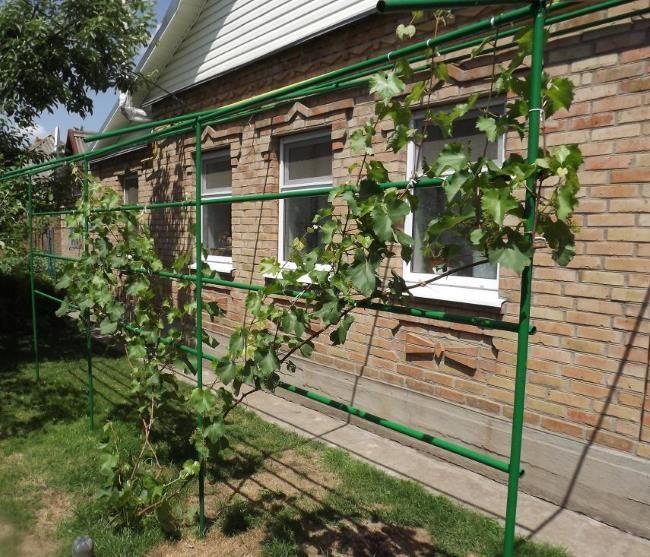 Виноград на одноплосткостной шпалере вдоль стены кирпичного дома