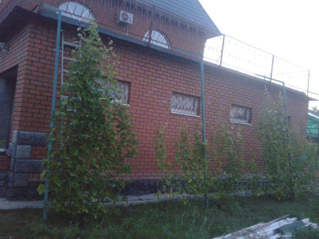 Виноград на высокой самодельной шпалере вдоль стены жилого дома
