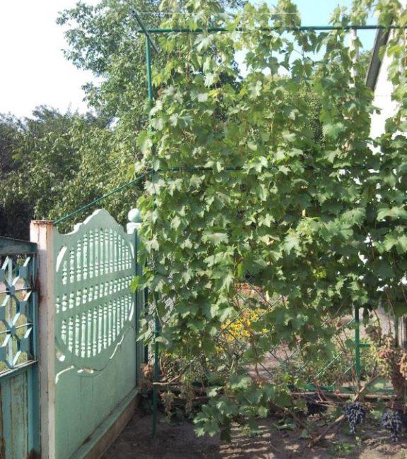 Куст винограда на высокой самодельной шпалере в частном саде
