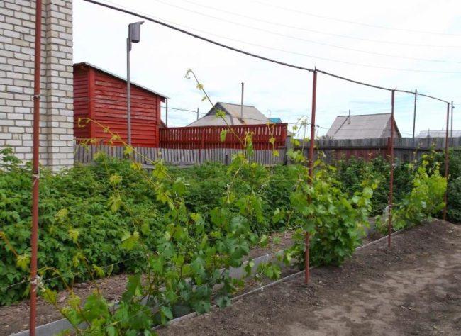 Молодые кусты винограда в начале лета на шпалере из металлических труб