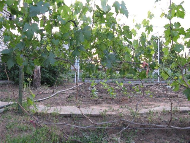 Ветки винограда на самодельной шпалере после прореживания лозы