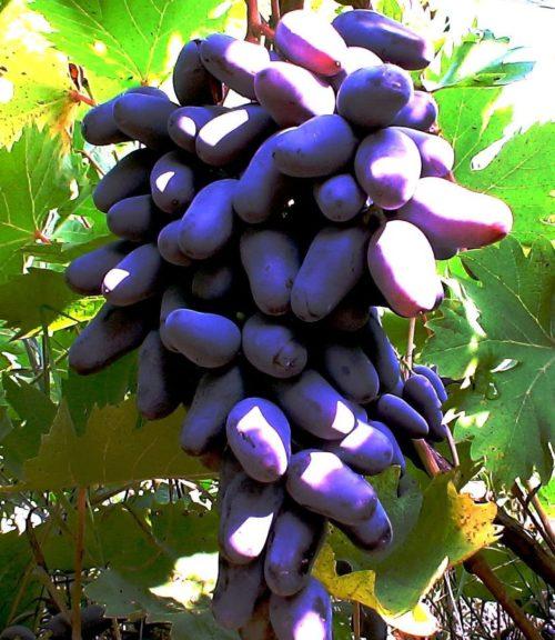 Виноградная гроздь гибридной формы Оригинал Черный