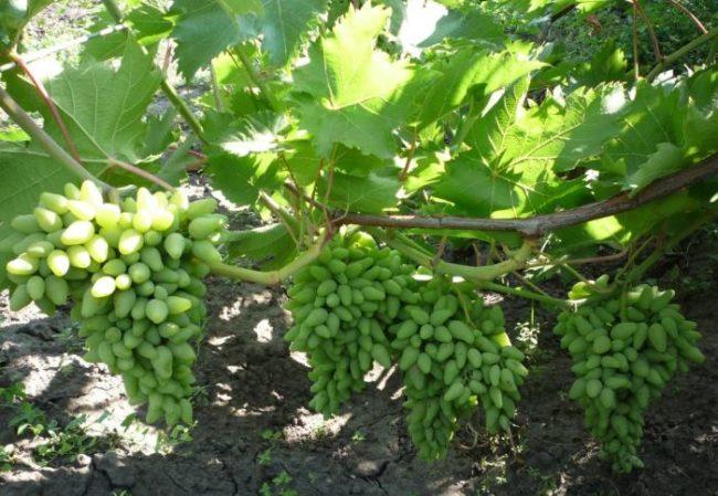 Нормированная нагрузка виноградного куста гибридного сорта Оригинал
