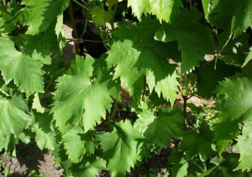 Внешний вид листьев винограда столового сорта Оригинал