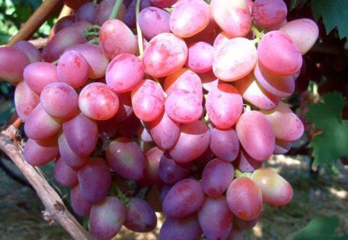 Плоды винограда гибридного сорта Парижанка крупным планом