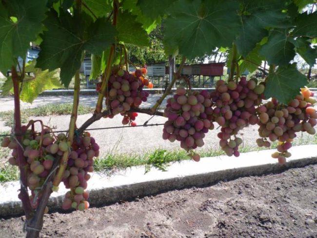 Куст гибридного винограда сорта Праижанка с гроздьями средних размеров