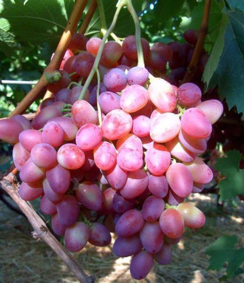 Крупная гроздь столового винограда гибридной формы Парижанка