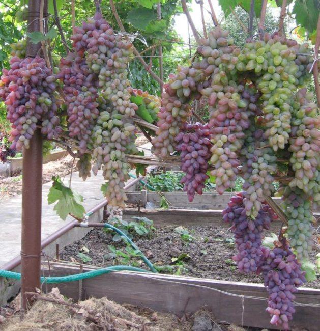 Куст винограда столового сорта Оригинал с гроздьями созревающих плодов