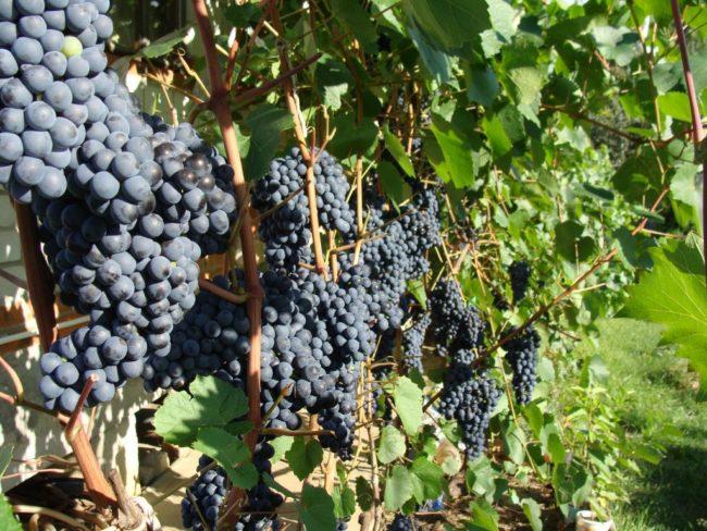 Куст гибридного винограда с гроздьями созревающих ягод темно-синего цвета