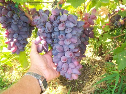 Крупная гроздь гибридного винограда сорта Ромео позднего срока созревания