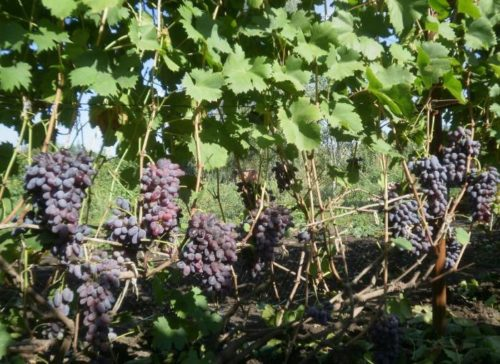 Куст столового винограда гибридной формы Ромео под нагрузкой