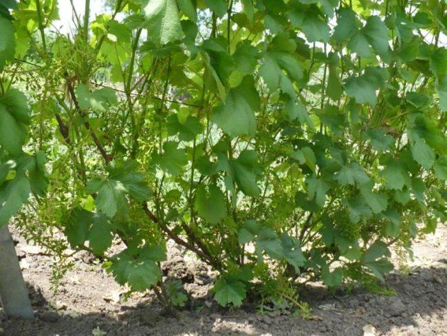 Куст винограда столового сорта со светлыми зеленовато-коричневыми побегами