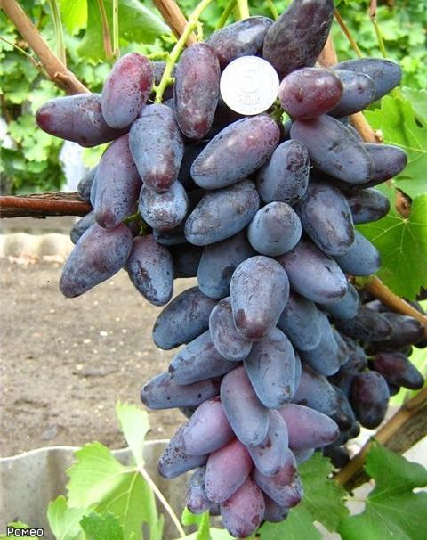 Кисть винограда гибридной культуры Ромео с вытянутыми конусовидными плодами