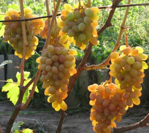 Виноградная лоза гибридной формы Румба под нормированной нагрузкой